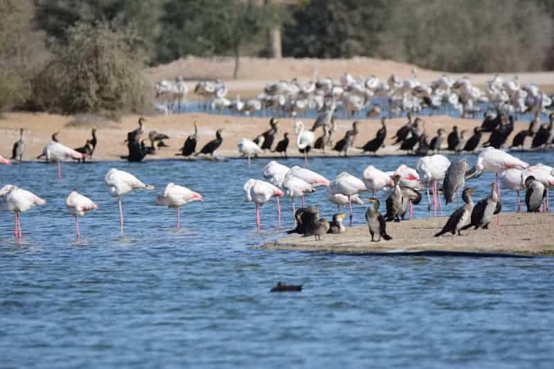 Birds at Al Qudra Lakes in Dubai desert