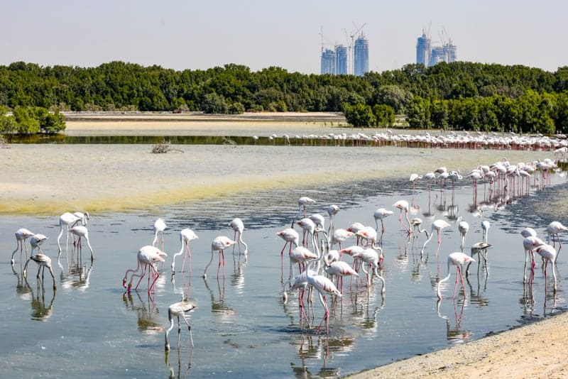 Flamingos at Ras Al Khor Wildlife Sanctuary in Dubai, UAE